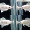 """(ขายแล้วครับ)""""คัดเกรด""""ปลากัดครีบสั้น-Halfmoon Plakats Male White Platinum"""
