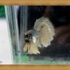 ปลากัดครีบยาว - Halfmoon