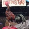 เจ้าอาชาประกาศิต 144 ไก่ชนม้าล่อยาว