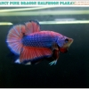 """""""คัดเกรด""""ปลากัดครีบสั้น-Halfmoon Plakats Fancy Dragon Pink Colors"""
