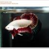คัดเกรดปลากัดครีบสั้น-Halfmoon Plakat Red Dragon