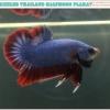 """""""คัดเกรด""""ปลากัดครีบสั้น-Halfmoon Plakats Grizzled Thailand"""
