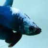 ปลากัดคัดเกรดครีบสั้น - Halfmoon Blue Fancy Dragon Quality Grade