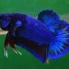 คัดเกรดปลากัดครีบสั้น-Halfmoon Plakat Fancy Blue Dragon