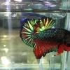 ปลากัดคัดเกรดครีบสั้น - Halfmoon Plakad Fancy Dragon Quality Grade