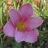 บัวดิน zephyranthes beni tama
