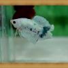 (ขายแล้วครับ)ปลากัดครีบสั้นสองหาง - Fancy Halfmoon Plakats Double Tails