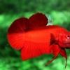 คัดเกรดปลากัดครีบสั้น - Halfmoon Plakad Quality Super Red Grade A+