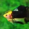 (แถมตัวเมีย 1 ตัว)VIP การันตีไม่สวยจริง เอาเงินคืนไปรับประกันครับ Hi - Premium Grade AAA+ คัดเกรดปลากัดครีบสั้น-Over Tails Halfmoon Plakad The Mask Yellow Nice Fish