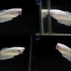 """""""คัดเกรด""""ปลากัดครีบสั้นตัวเมีย-Halfmoon Plakats Female White Platinum"""