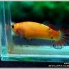 คัดเกรดปลากัดครีบสั้นเพศเมีย-Female Halfmoon Plakad Fancy Orange-Yellow Qaulity Grade