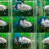 """(ขายแล้วครับ)""""คัดเกรด""""ปลากัดครีบสั้น-Halfmoon Plakats Fancy Marble"""
