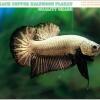 (ขายแล้วครับ)+แถมตัวเมีย+ปลากัดครีบสั้น-Halfmoon Plakat Black Dragon Copper