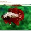 คัดเกรดปลากัดครีบสั้น-Halfmoon Plakat Red Copper Quality Grade
