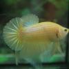 คัดเกรดปลากัดครีบสั้น-Halfmoon Plakad Fancy Yellow Dragon Hi Quality Grade