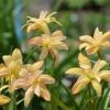 บัวดินดอกซ้อนสีเหลือง Z.yantichandra