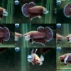"""(ขายแล้วครับ)""""คัดเกรด""""ปลากัดครีบสั้นหูช้าง-Halfmoon Plakats Big Ear Lavender"""