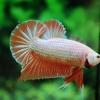 คัดเกรดปลากัดครีบสั้น-Halfmoon Plakad Fancy Orange Dragon Hi Quality Grade