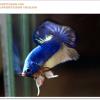 คัดเกรดปลากัดครีบสั้น-Halfmoon Plakat Mustrad
