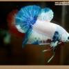 ปลากัดครีบสั้น-Halfmoon Plakat Fancy Marble