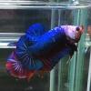 ปลากัดคัดเกรดครีบสั้น - Halfmoon Plakad Fancy Blue Monster Quality Grade AAA+