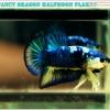 ปลากัดครีบสั้น-Halfmoon Plakat Fancy Blue Dragon Good Grade