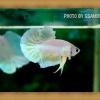 (ขายแล้วครับ)ปลากัดครีบสั้นหูช้าง - Halfmoon Plakats Big Ear Gold