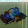 """(ขายแล้วครับ)""""คัดเกรด""""ปลากัดครีบสั้น-Halfmoon Plakats Fancy Green Blue Samuri Mustrad"""