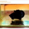 ปลากัดครัดเกรดครีบสั้น-Halfmoon Plakat Super Black Quality Grade