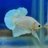 คัดเกรดปลากัดครีบสั้น-Halfmoon Plakat Fancy White Dragon