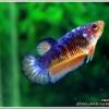 ตัวเมีย Hi - Premium Grade AAA+ คัดเกรดปลากัดครีบสั้น-Female Over Tails Halfmoon Plakad Fancy Blue Orange