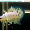 """""""คัดเกรด""""ปลากัดครีบสั้น-Halfmoon Plakats Fancy Marble"""