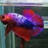 ปลากัดคัดเกรดครีบสั้น - Halfmoon Plakad Fancy Dragon(Red Blue) Quality Grade AAA+