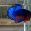 ปลากัดคัดเกรดครีบสั้น - Halfmoon Plakad Fancy Dragon(Red Blue) Quality Grade