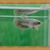 (ขายแล้วครับ)ปลากัดครีบสั้นหูช้าง - Fancy Halfmoon Plakats Big Ear Female