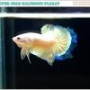 """""""คัดเกรด""""ปลากัดครีบสั้น-Halfmoon Plakats Super Gold"""