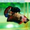 """""""คัดเกรด""""ปลากัดครีบสั้น-Halfmoon Plakats Tiger Fancy Full Colors"""