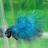 (ขายแล้วครับ)ปลากัด ครีบยาว หางมงกุฎ สีเขียว - Crowntails (ขายเป็นคู่)