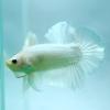 ปลากัดคัดเกรดครีบสั้น - Halfmoon Plakad White Platinum Quality Grade