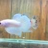 ปลากัดคัดเกรดครีบสั้น - Halfmoon Plakad Fancy Marble Quality Grade