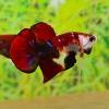 คัดเกรดปลากัดครีบสั้น-Halfmoon Plakat Fancy Red Koi