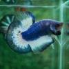 ปลากัดคัดเกรดครีบสั้น - Halfmoon Plakad Blue Marble Quality Grade