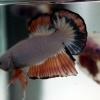 คัดเกรดปลากัดครีบสั้น-Halfmoon Plakat Fancy Marble