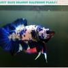 """""""คัดเกรด""""ปลากัดครีบสั้น-Halfmoon Plakats Blue Dragon"""
