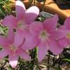 บัวดินสีชมพูดอกใหญ่(12 หัว)