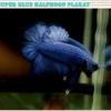 ปลากัดครีบสั้น-Over Halfmoon Plakat Super Blue Quality Grade
