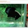 คัดเกรดปลากัดครีบสั้น-Halfmoon Plakat Super Black