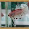 (ขายแล้วครับ)HMPKFC ปลากัดครีบสั้นเกรดประกวด