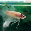 """""""คัดเกรด""""ปลากัดครีบสั้น-Halfmoon Plakats Fancy Koi"""