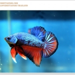 คัดเกรดปลากัดครีบสั้น-Halfmoon Plakat Fancy Dragon Blue Red Orange